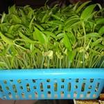 鱼腥草8350绿豆苗的做法