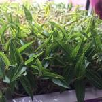 hong8250绿豆苗的做法
